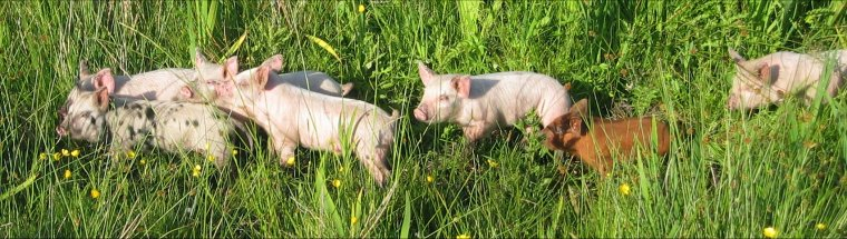 Enjoying the summer sun - some of Barra's pigs